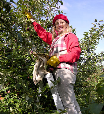 Woman picking apples in Franklin, Quebec along the USA border in autumn